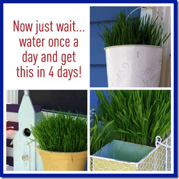 Wheat grass diy