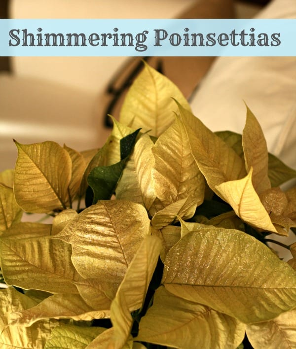 glittered poinsettias