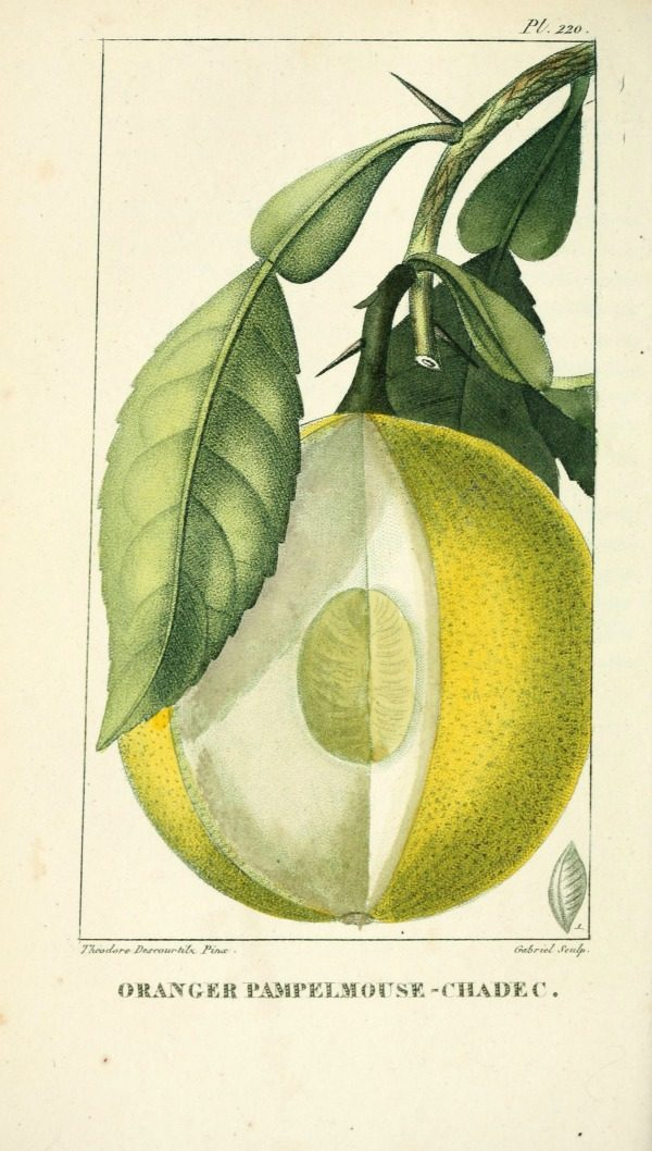 Lemon Botanical Printable from Today's Creative Life