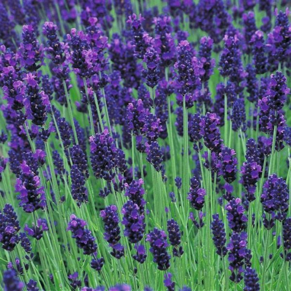 10 Plants to Keep Mosquitos Away | Lavender | TodaysCreativeLife.com