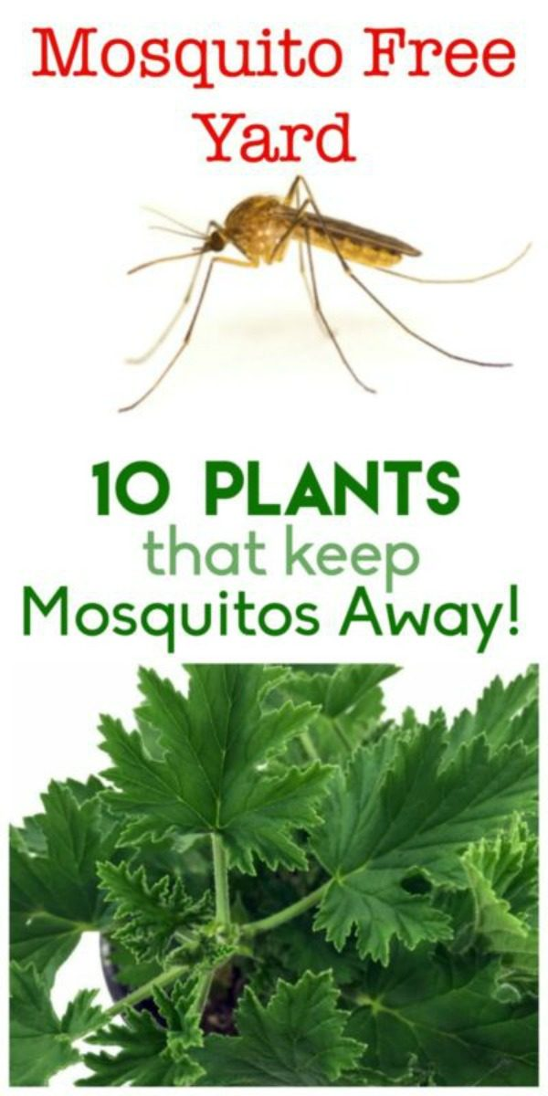 10 Plants to Keep Mosquitos Away | Repel insects and mosquitos for outdoor entertaining | Mosquito repellent garden and plants | TodaysCreativeLife.com