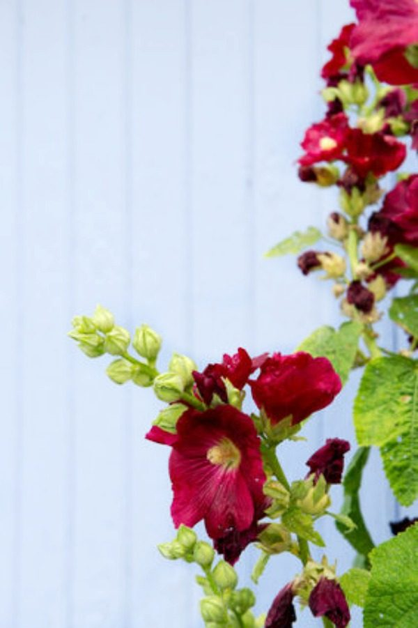 Plants for a Cottage Garden | Hollyhocks for an English Garden | Planting an English Cottage Garden | Classic Plants | TodaysCreativeLife.com