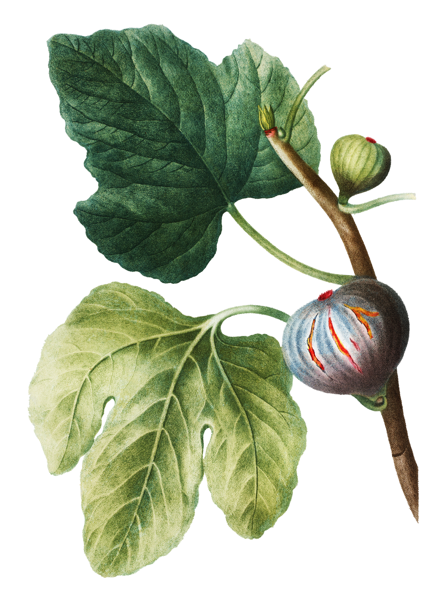 Botanical FIG