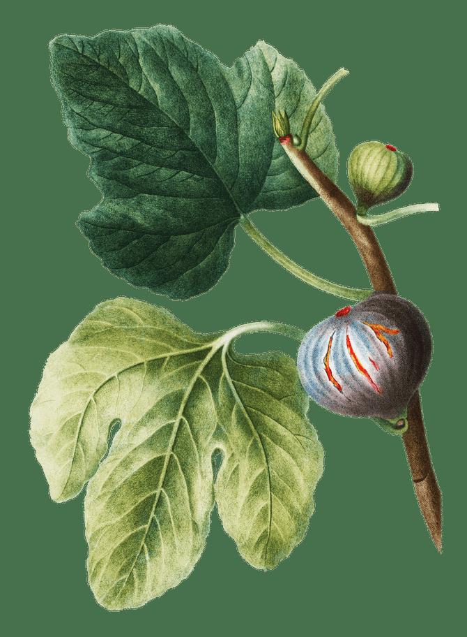 Botanical Fig Printable
