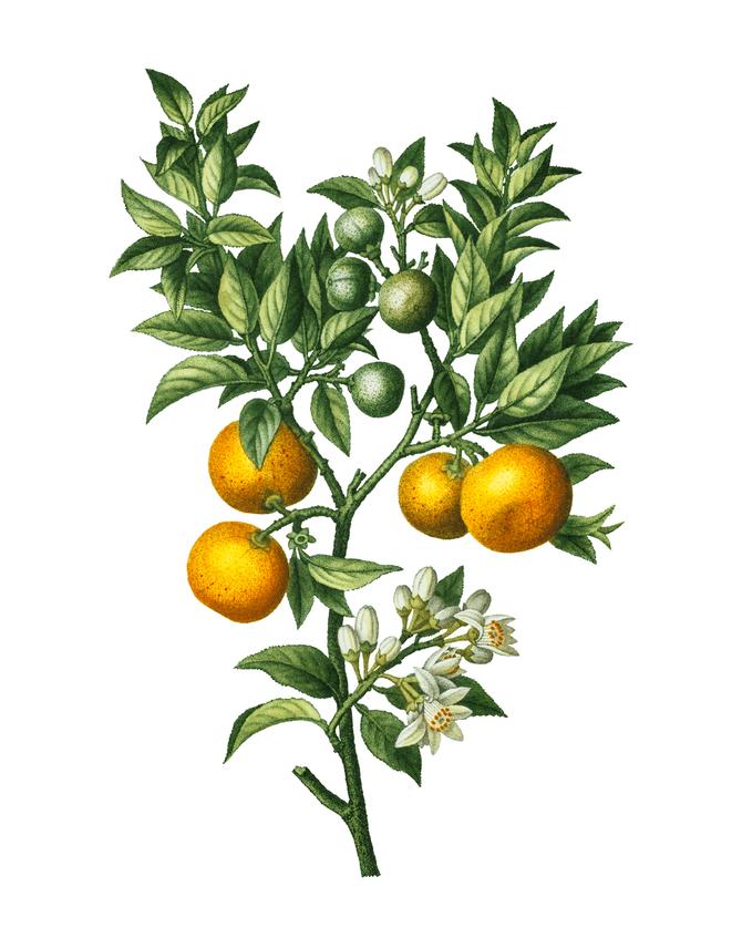Botanical Oranges Printable